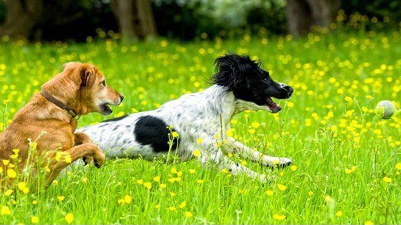 Rotura de ligamento cruzado anterior en perros