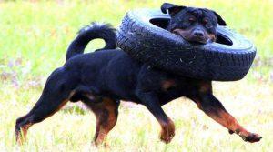comida para Rottweiler