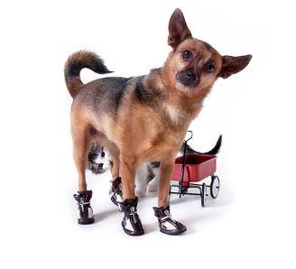 consejos para que tu perro use zapatos