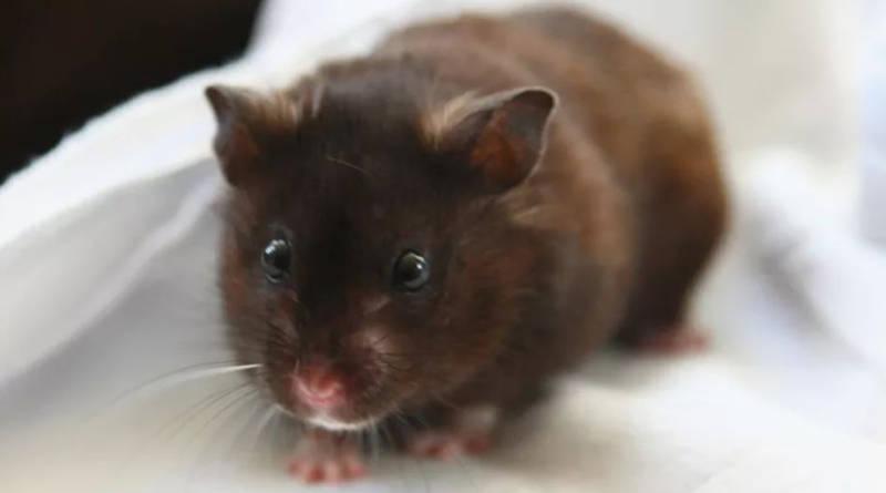 Cuánto cuesta un hamster