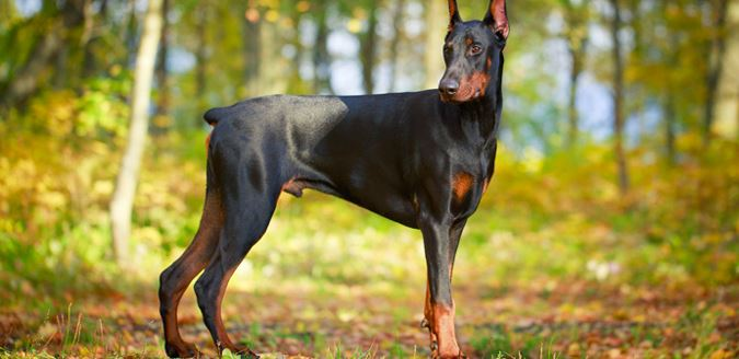 doberman pinscher raza inteligente