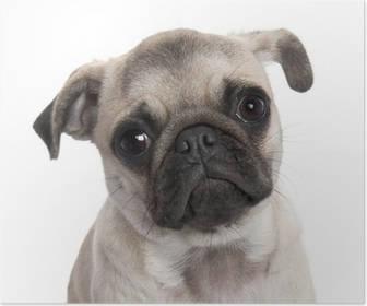 Carlino o Pug