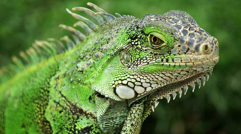 Cómo domesticar una iguana